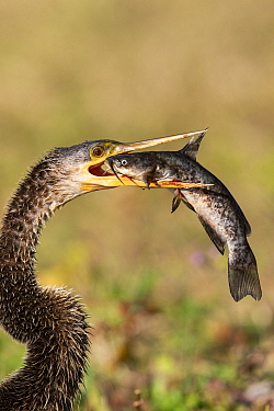 American Darter (Anhinga anhinga) swallowing fish prey, Venice, Florida