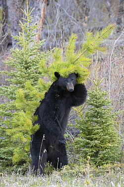 Black Bear (Ursus americanus) rubbing against trees, Montana