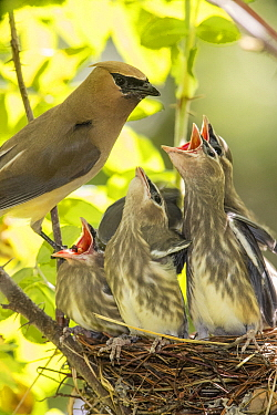 Cedar Waxwing (bombycilla cedrorum) mother with begging chicks at nest, Troy, Montana