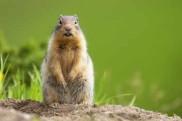 Columbian Ground Squirrel (Spermophilus columbianus) on alert, Montana
