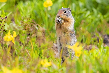Columbian Ground Squirrel (Spermophilus columbianus) feeding, Montana