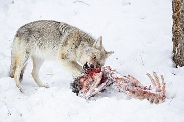 Coyote (Canis latrans) feeding on American Bison (Bison bison) calf carcass in winter, Montana