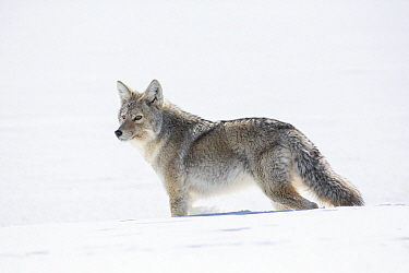 Coyote (Canis latrans) in winter, Montana
