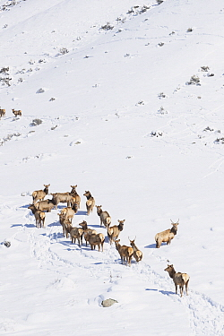 Elk (Cervus elaphus) females in winter, Montana
