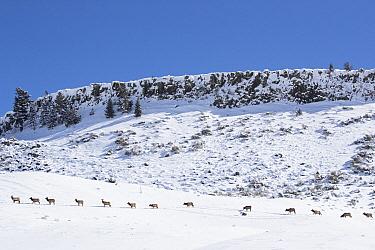 Elk (Cervus elaphus) herd migrating in winter, Gardiner, Montana