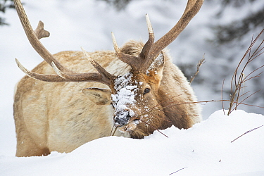 Elk (Cervus elaphus) bull browsing in winter, Yellowstone National Park, Wyoming