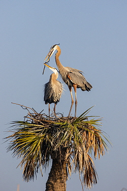 Great Blue Heron (Ardea herodias) pair building nest, Viera Wetlands, Florida