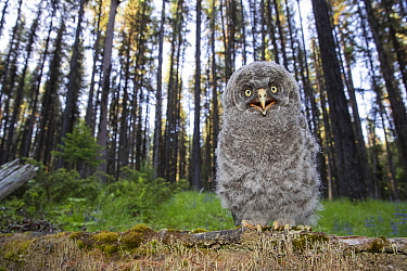 Great Gray Owl (Strix nebulosa) chick in defensive posture on forest floor, Montana