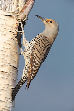 Northern Flicker (Colaptes auratus) female at nest cavity, Troy, Montana