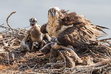 Osprey (Pandion haliaetus) parent and chicks at nest, Troy, Montana