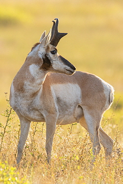 Pronghorn Antelope (Antilocapra americana) male, Montana