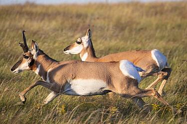 Pronghorn Antelope (Antilocapra americana) male and female running, Montana