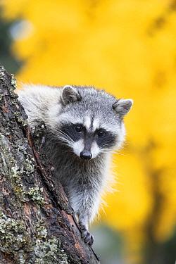 Raccoon (Procyon lotor), Montana