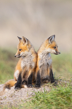 Red Fox (Vulpes vulpes) kits, Montana