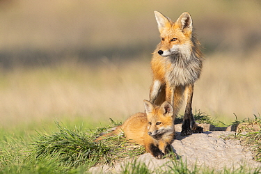 Red Fox (Vulpes vulpes) mother and kit at den, western Montana
