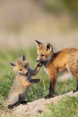 Red Fox (Vulpes vulpes) kits of different ages playing at den, western Montana