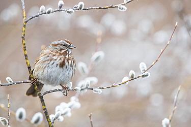 Song Sparrow (Melospiza melodia) male, Montana