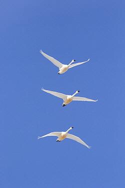 Tundra Swan (Cygnus columbianus) group flying, Montana