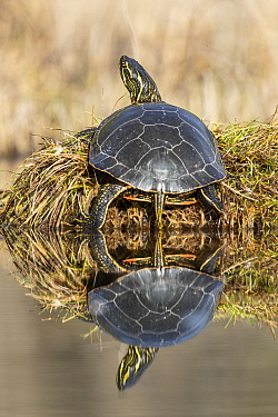 Painted Turtle (Chrysemys picta) basking, Montana