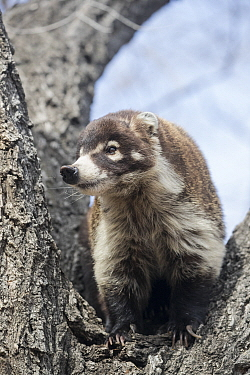 White-nosed Coati (Nasua narica), Arizona