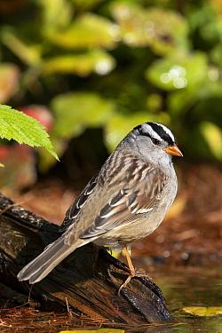 White-crowned Sparrow (Zonotrichia leucophrys), Montana