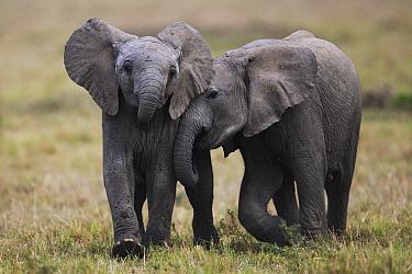 African Elephant (Loxodonta africana) calves playing, Masai Mara, Kenya