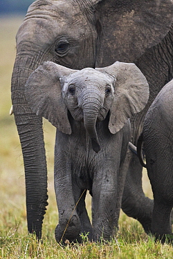 African Elephant (Loxodonta africana) calf and juvenile, Masai Mara, Kenya