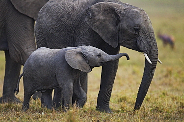 African Elephant (Loxodonta africana) calf and juvenile playing, Masai Mara, Kenya