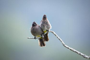 Cape Bulbul (Pycnonotus capensis) pair, Western Cape, South Africa