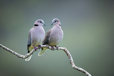 Ring-necked Dove (Streptopelia capicola) pair, Western Cape, South Africa