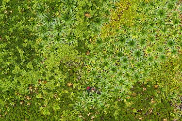 Plantain (Plantago rigida) and Bear Grass (Xerophyllum humile) cushion plants, Pichincha, Ecuador