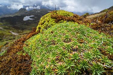 Plantain (Plantago rigida) cushion plant, Pichincha, Ecuador