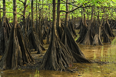 Tea Mangrove (Pelliciera rhizophorae) buttress roots in intertidal zone, Utria National Park, Colombia