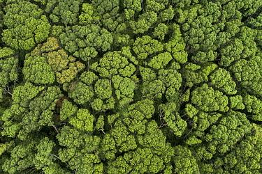 Tree (Shorea gardneri) and Tree (Shorea trapezifolia) exhibiting crown shyness, Sinharaja Forest Reserve, Sri Lanka