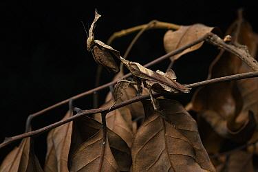 Ghost Mantis (Phyllocrania paradoxa) leaf mimic, Andasibe, Madagascar