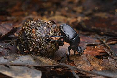 Dung Beetle (Paragymnopleurus maurus) rolling dung, Danum Valley Conservation Area, Sabah, Borneo, Malaysia