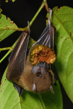 Lesser Naked-backed Fruit Bat (Dobsonia minor) feeding on fruit, Nimbokrang, Papua, Indonesia