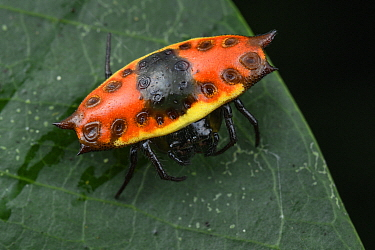 Four-spined Jewel Spider (Gasteracantha quadrispinosa), Nimbokrang, Papua, Indonesia
