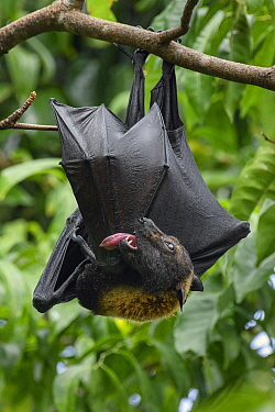 Spectacled Flying Fox (Pteropus conspicillatus) grooming, Waigeo, Papua, Indonesia