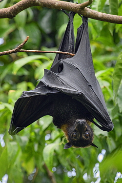 Spectacled Flying Fox (Pteropus conspicillatus) roosting, Waigeo, Papua, Indonesia