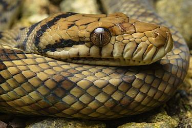 Amethythine Scrub Python (Morelia amethistina), Waigeo, Papua, Indonesia