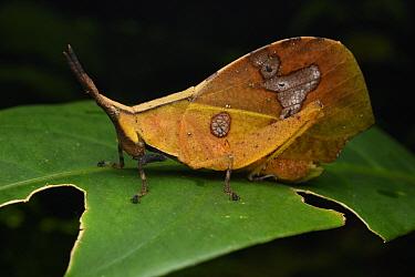 Grasshopper (Systella sp), dead leaf mimic, Sarawak, Borneo, Malaysia