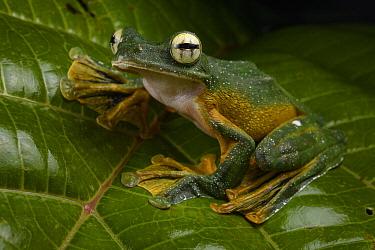 Wallace's Flying Frog (Rhacophorus nigropalmatus), Sarawak, Borneo, Malaysia