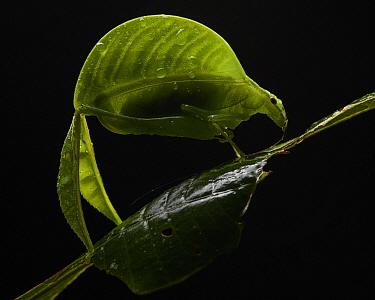 Katydid (Eulophophyllum lobulatum) female, new species described in 2016, Mount Kinabalu National Park, Sabah, Borneo, Malaysia