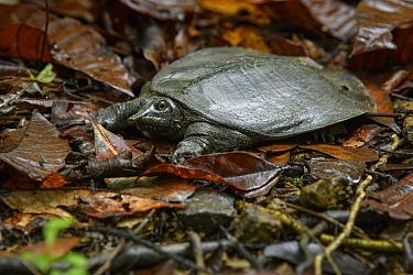 Black-rayed Soft-shelled Turtle (Amyda cartilaginea), Sepilok Forest Reserve, Sabah, Borneo, Malaysia