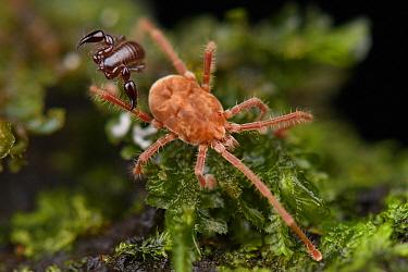 Tiny pseudoscorpion on mite leg, Mulu National Park, Sarawak, Borneo, Malaysia