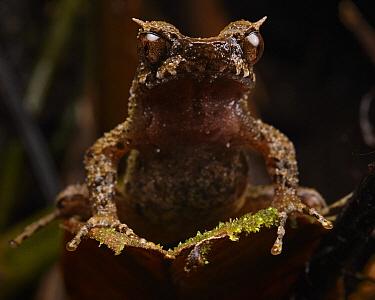 Mulu Horned Frog (Megophrys dringi), Mulu National Park, Sarawak, Borneo, Malaysia