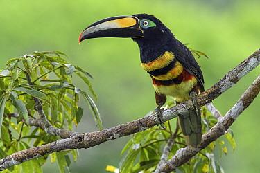 Many-banded Aracari (Pteroglossus pluricinctus), Yasuni National Park, Ecuador