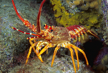 Southern Rock Lobster (Jasus edwardsii), South Australia, Australia
