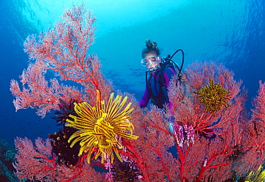 Scuba diver with gorgonian fan coral decorated with crinoid feather stars, Great Barrier Reef, Queensland, Australia